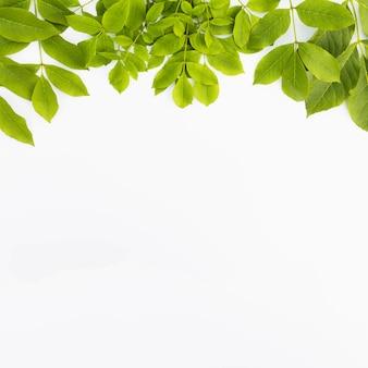 Hojas verdes frescas aisladas sobre fondo blanco