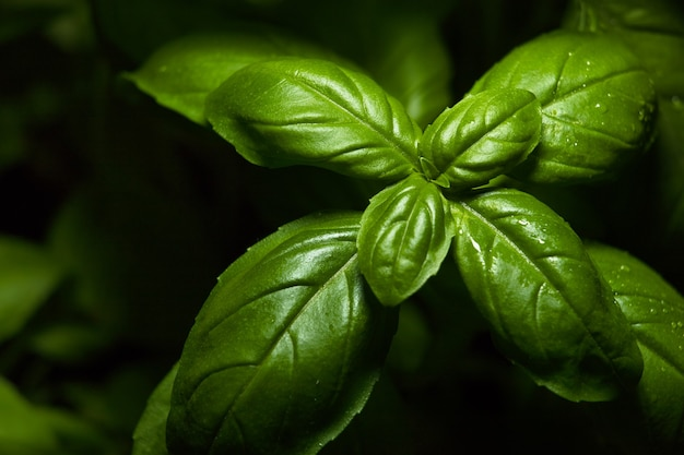 Hojas verdes frescas de albahaca, nombre latino ocimum basilicum
