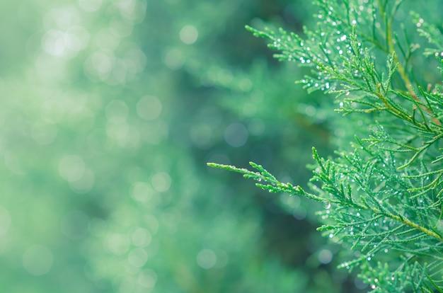 Hojas verdes frescas del árbol de enebro savin con fondo claro bokeh