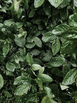 Hojas verdes frescas con gotas de lluvia o rocío. follaje después de la lluvia.