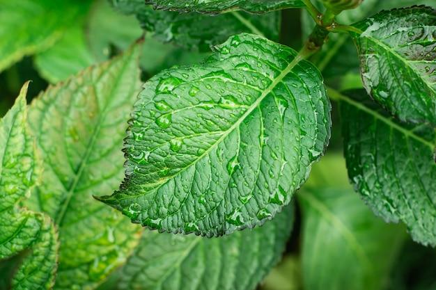 Hojas verdes de hortensia arbusto desde arriba
