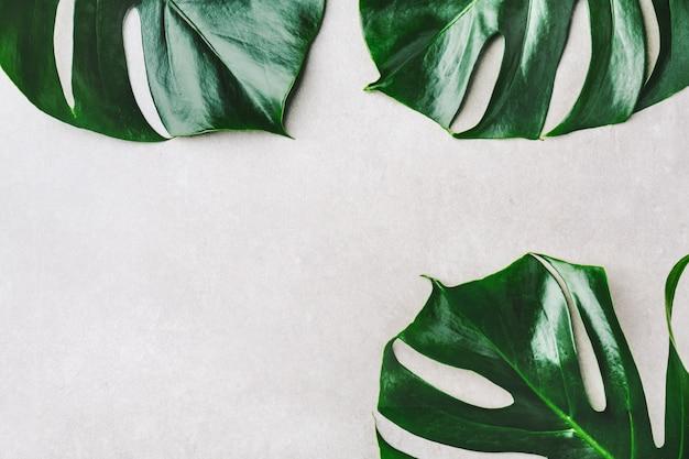 Hojas verdes de monstera en gris.