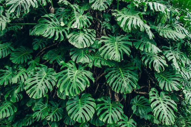 Hojas verdes de monstera philodendron planta que crece en invernadero