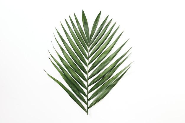 Hojas verdes de la palmera en el fondo blanco