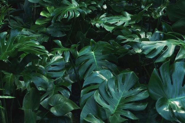 Hojas verdes de la planta de filodendro monstera