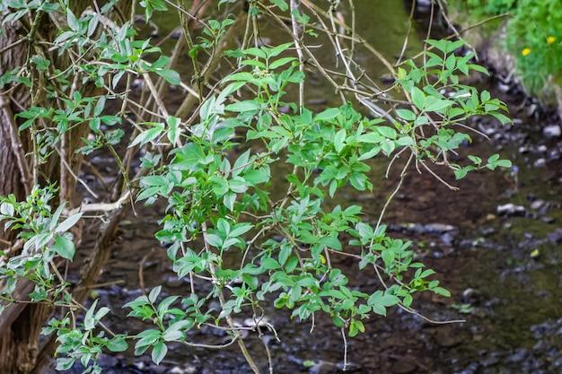 Hojas verdes en las ramas de un árbol con el río.