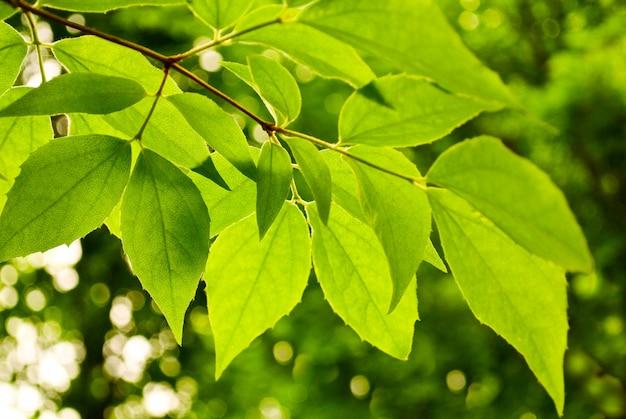 Las hojas verdes de tilo