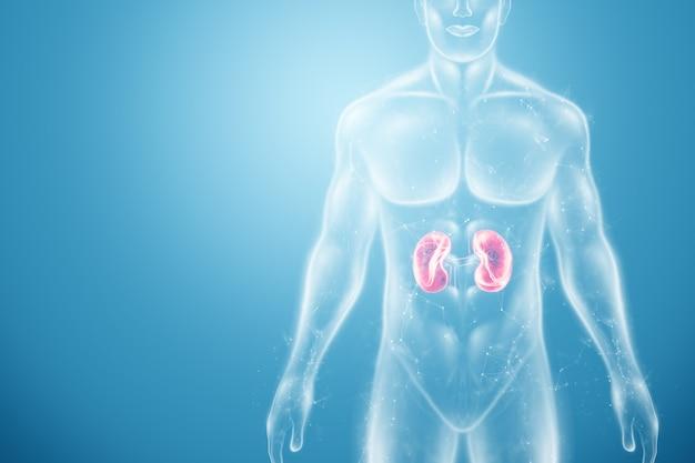 Holograma de los riñones en el cuerpo humano