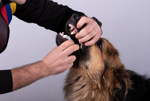 Hombre abriendo su boca a un perro pastor alemán