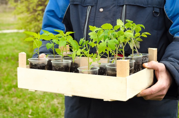 Hombre agricultor sosteniendo una caja de madera en sus manos con espacio de copia con plántulas de pimiento y tomate