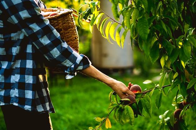 El hombre barbudo joven escoge los melocotones del árbol en la canasta con aligerar el sol a través del árbol