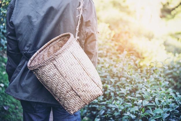 El hombre cosecha / recoge hojas de té verde fresco en el campo de té de tierra alta en chiang mai tailandia