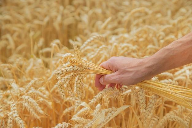 Un hombre con espiguillas de trigo en sus manos.
