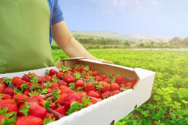 Hombre irreconocible sosteniendo una caja con fresas maduras frescas en un campo