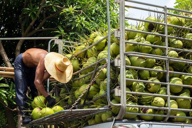 Hombre manejando la agricultura de frutas de coco para privatizar alimentos.