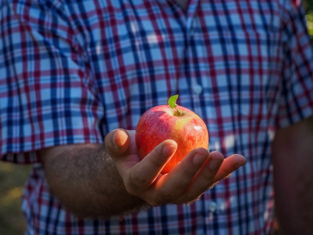 Hombre manos en la cosecha de manzanas rojas