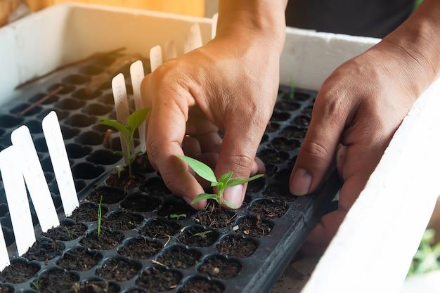 Hombre manos plantando la plántula en bandeja de siembra