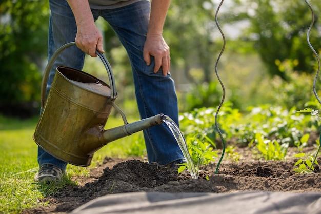 Hombre mayor regar las plantas de tomate en su enorme jardín, concepto de jardinería