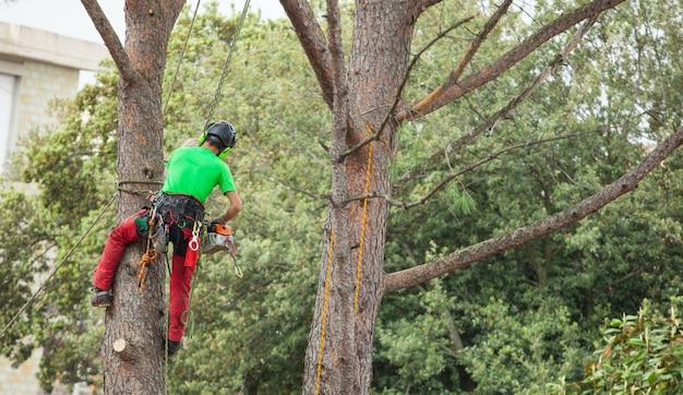 Hombre poda de pino.
