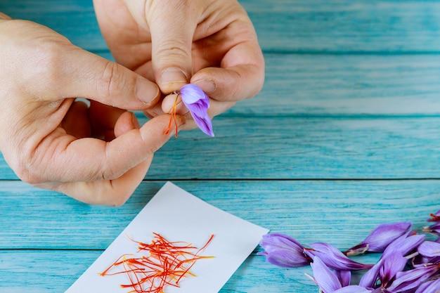 El hombre se separa de estambres de una flor de azafrán. haciendo especias.