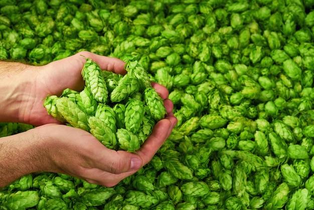 Hombre sujetando conos de lúpulo verde sobre fondo verde. ingredientes orgánicos para hacer cerveza