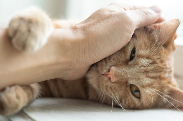 Hombre, tenencia, gato rojo, en, manos, cicatrizarse