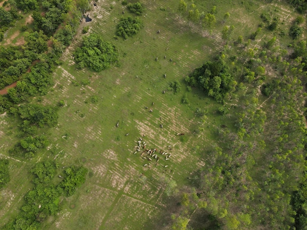 Hombre vaca liberando vaca para comer hierba en el bosque rodada desde drones en tailandia