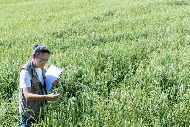 Los hombres asiáticos están registrando datos de plantas de arroz en campos que están creciendo y completos