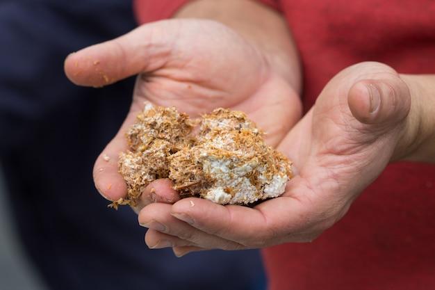 Hongo micelio sobre aserrín para cultivar hongos, en las palmas de las manos masculinas