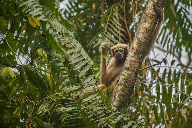 Hoolock gibbon en lo alto de un árbol mono indio salvaje en el bosque indio