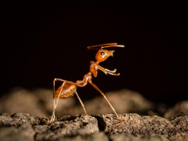 Hormiga caminando en el árbol en la naturaleza sobre fondo negro oscuro