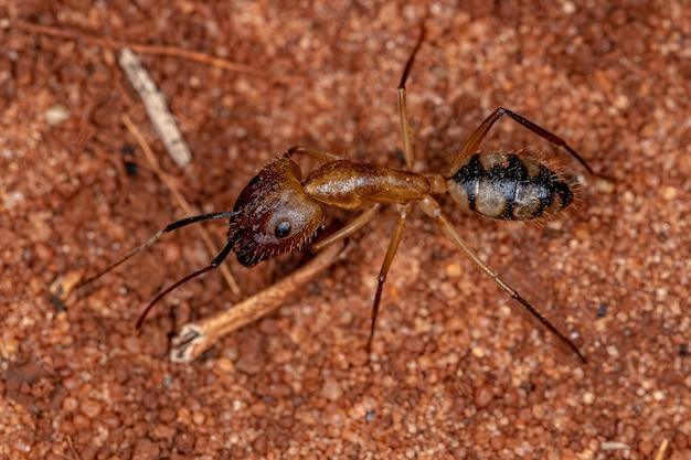 Hormiga carpintera adulta soldado del género camponotus