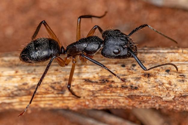 Hormiga carpintera hembra adulta del género camponotus
