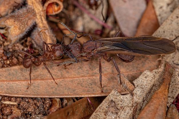 Hormiga cortadora de hojas acromyrmex adulta del género acromyrmex