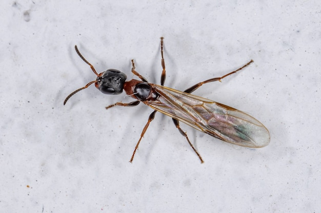 Hormiga reina ramita adulta del género pseudomyrmex