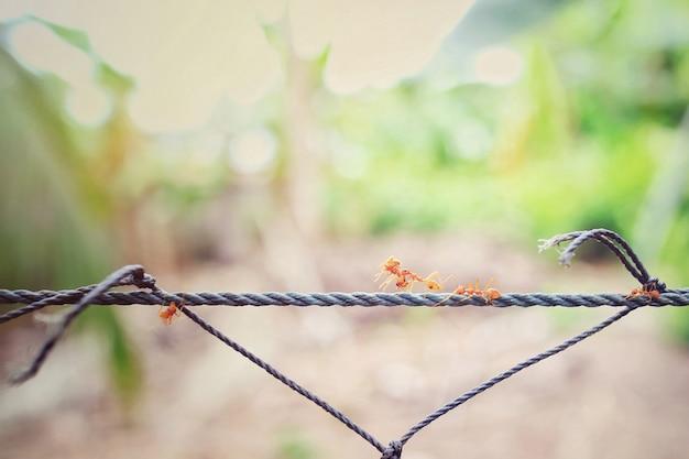 Hormiga roja en la cuerda verde llevando una hormiga roja hiriendo al nido