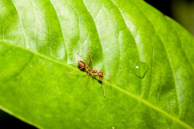 Hormiga roja en la hoja verde en naturaleza en tailandia