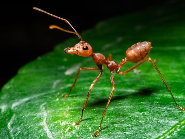 Hormiga roja en la vida silvestre