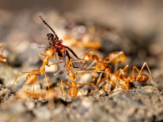 Las hormigas insectos llevan a otros insectos a la comida en el suelo para anidar en los árboles.