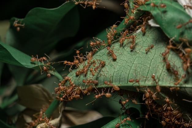 Hormigas rojas en las hojas.