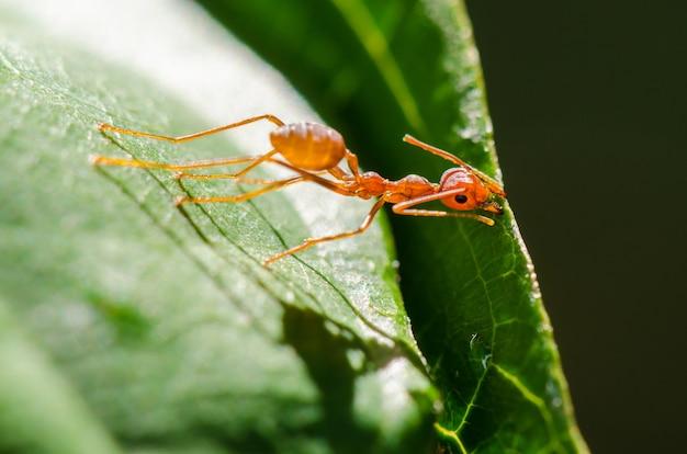 Las hormigas tejedoras o las hormigas verdes (oecophylla smaragdina) están trabajando juntas para construir un nido en tailandia