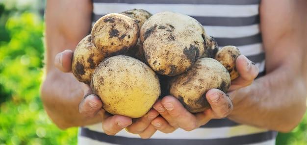 Hortalizas caseras ecológicas en manos de patatas macho.