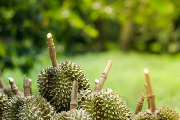 Los hoyos de los durianes que los jardineros cortaron del árbol antes de ser clasificados y luego vendidos.