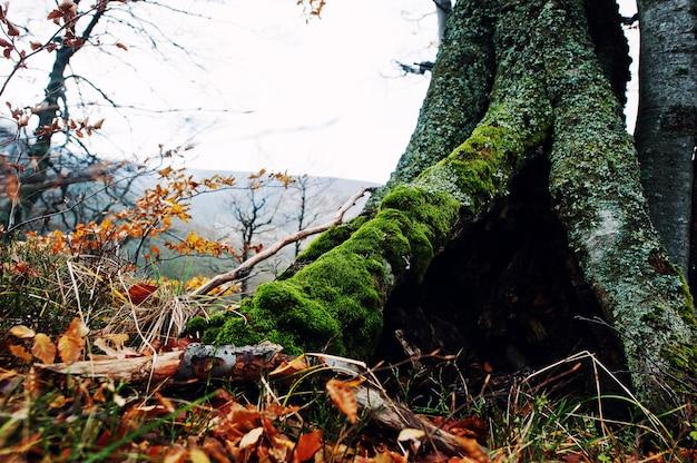 Hueco del árbol, cubierto de musgo en el bosque de otoño en las montañas.