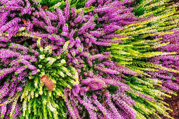 Huerto con flores de color rosa y brezo arreglo de otoño fondo floral decoración de tumba