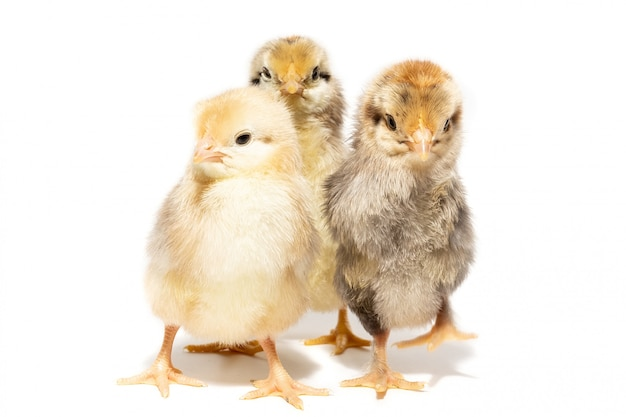 Huevo de gallina sobre fondo blanco.