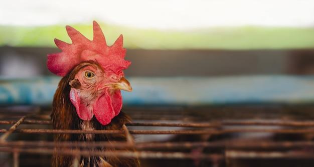 Huevos pollos, gallinas en ganadería jaulas granja industrial.