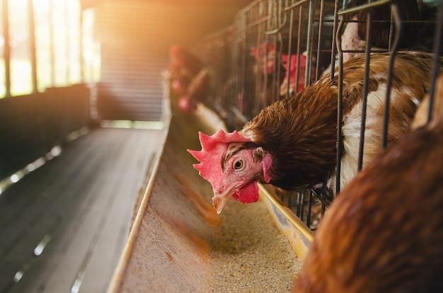 Huevos pollos, gallinas en jaulas industriales
