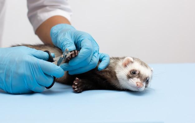 Hurón en clínica veterinaria tijeras para garras para mascotas como perros y gatos o hurones aislados en blanco