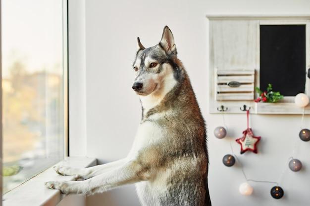 Husky en año nuevo